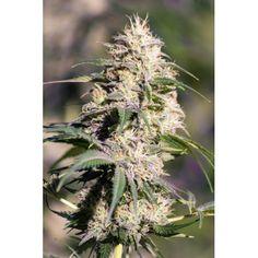 Bud, Dandelion, Herbs, Flowers, Plants, Beautiful, Dandelions, Florals, Herb