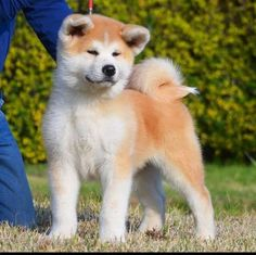 15 Surprising Facts You Didn't Know About Akita Inu – The Paws Shiba Inu, Akita Inu Puppy, Akita Puppies For Sale, Baby Puppies, Baby Dogs, Doggies, Japanese Dog Breeds, Japanese Dogs, Hachiko Dog