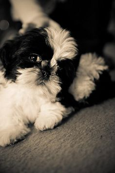 Cute Shih Tzu puppy in black and white.