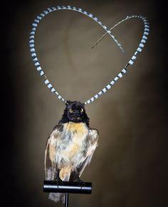 頭にピュンと2本の長い飾り羽を持つ粋な極楽鳥「フキナガシフウチョウ」 : カラパイア