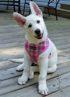 Oh my what a pretty white German shepherd puppy! Gsd Puppies, Cute Puppies, Cute Dogs, Gsd Dog, Husky Puppy, German Shepherd Training, German Shepherd Puppies, German Shepherds, Belgian Shepherd