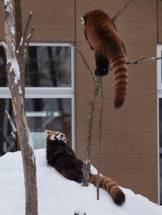 ・・・そのポーズは何なの!? でも、そんなキンちゃんが・・・超絶かわいい♪  Red pandas レッサーパンダ 小熊猫