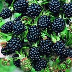 Plants by Hardiness Zone: Guide to growing various berry, flower and fruit trees in Zone 10 (subtropical) Fruit Plants, Tropical Plants, Fruit Trees, Jam Recipes, Raw Food Recipes, Lawn And Garden, Garden Tools, Thornless Blackberries, Gardens