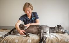 Greyhound Specific Injuries // A greyhound receives very specific injuries when racing which can also effect them once retired. This is an in depth article into the life of a greyhound