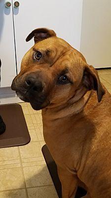 Wyoming Mi English Bulldog Meet Shayna Fortune A Dog For