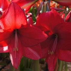 If you have seen this Amaryllis blooming you understand why the name Fiesta, what a rich colour and what an amount of blossoms….. a feast for the eye.