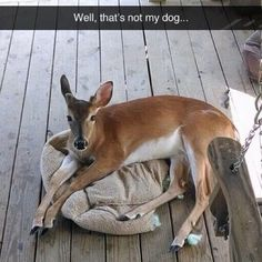 """Try and feed me a bone, I #deer you."" #pawnation #animals #meme"