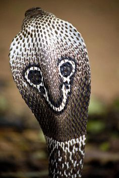 Photo about The hood back side of an Indian Cobra. Image of venomous, spectacled, snake - 20569186 Pretty Snakes, Beautiful Snakes, Les Reptiles, Reptiles And Amphibians, Mammals, Tela Hindu, Snake Names, Indian Cobra, Animaux