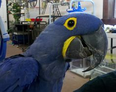 Hyacinth Macaw - Great personality,1 /2 year old, DNA tested female, hand fed, tamed, talking, micro chipped $11,000 Available immediately. 302-684-4101 www.mdbirdfarm.com email: manddbirdfarm@gmail.com