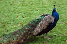 white peacock and black shoulder peafowl peacock are forest birds that Peacock Images, Peacock Pictures, Bird Pictures, Cute Animal Pictures, Peacock Wallpaper, Bird Wallpaper, Pfau Tattoo, Fitness Home, Emotional Support Animal