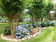 """Endless Summer"" hydrangeas under a row of crape myrtles. (Would be pretty with my Natchez.)"
