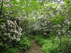 Mountain Laurel, Looking Glass Rock Trail, Pisgah National Forest, North Carolina by netbros, via Flickr