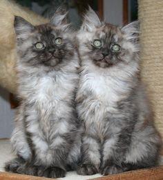 Kittens ~ Yin und Yang, Sibirische Katzen, black-smoke