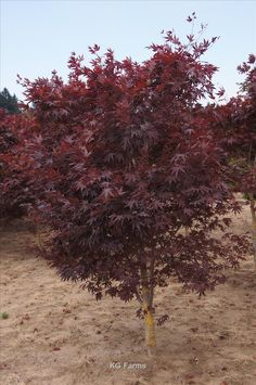 Acer Palmatum Bloodgood Whole Nursery Supplies Plant Growers In Oregon Guide