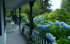oh my, look at those blue hydrangea