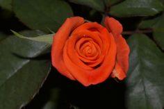 orange rose by Theodoros Tsilikis on 500px