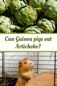 Are guinea pigs allergic to artichoke? Do guinea pigs like an artichoke? Is artichoke toxic to guinea pigs? Hazards? Artichoke health benefits to guinea pigs? How much artichoke can guinea pigs eat at a time? How often can guinea pigs artichoke? Can baby guinea pigs eat artichoke? Can guinea pigs eat a raw artichoke? Can guinea pigs eat artichoke tree leaves? Can guinea pigs eat artichoke outer leaves? Can guinea pigs eat a dried artichoke? Can guinea pigs drink artichoke tea? Guinea Pig Food, Baby Guinea Pigs, Guinea Pig Care, Guinea Pig Information, Pig Facts, Pigs Eating, List Of Vegetables, Toxic Foods