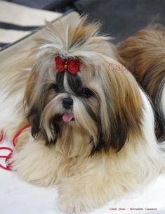 Hangie, 7 mois, TRES PROMETTEUR lors de sa première exposition canine en spéciale de race à Toulouse, Février 2013 ! Crédit photo : Bernadette Capparos