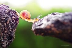 Snail Adventures – Beautiful pictures of snails by photographer Gabi Stickler Micro Photography, Animal Photography, Amazing Photography, Travel Photography, Snail Shell, Belleza Natural, Walking In Nature, Amphibians, Exotic Pets