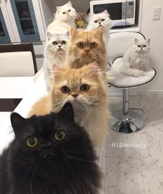 This is What It's Like Every Time These 12 Fluffy Kitties Hear the Sound of a Can! Cat Online, Cat Boarding, Christmas Cats, Crazy Cats, Cats Of Instagram, Kitten, Dogs, Animals, Persian Cats