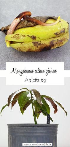 Mango ziehen aus einem Kern – So wächst ein Mangobaum #Mangoziehen #Mangobaum Mango Kern, Decoration, Banana, Fruit, Plants, Repurposing, Yard Ideas, Food, Gardening