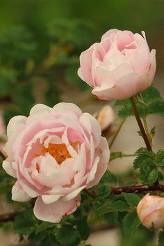Rosa 'Papula' Love Rose, Garden, Flowers, Plants, Garten, Lawn And Garden, Gardens, Plant, Gardening