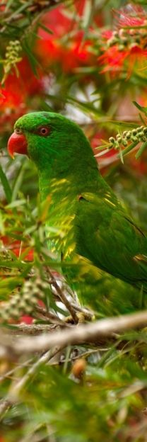 green parrot . Our blue streaked lory, loved when the Christmas tree arrived. Miss her :(