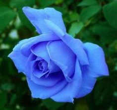 The Blue Rose | Thoughts From An American Woman