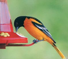 """""""Baltimore orioles are one of my favorite backyard birds,"""" writes Wilber Suiter of Coralville, Iowa. """"They have such a pretty song and rich, vibrant colors. This one really liked the sugar water from my hummingbird feeder."""""""