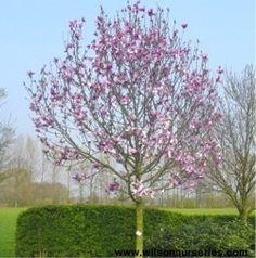 galaxy magnolia tree