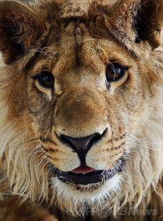 新しい環境に「笑顔」、瀕死状態から保護のライオン カブール 国際ニュース:AFPBB News