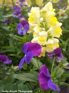 spring flowers...I love purple and yellow together
