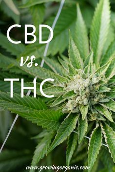 So what's the difference between CBD and THC? Here it is! #Cannabis #Marijuana #Weed