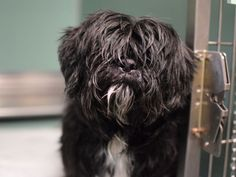 SAFE 4/19/2015 by Ready for Rescue --- SUPER URGENT ZILO – A1032737  ***SAFER : EXPERIENCED HOME***  MALE, BLACK / WHITE, LHASA APSO MIX, 13 yrs OWNER SUR – EVALUATE, NO HOLD Reason NO TIME Intake condition GERIATRIC Intake Date 04/10/2015,