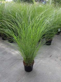 house flower garden 682295412273275274 - MISCANTHUS sinensis 'Gracillimus' Source by Modern Landscaping, Landscaping Plants, Front Yard Landscaping, Back Gardens, Outdoor Gardens, Miscanthus Sinensis Gracillimus, Large Outdoor Planters, Colorful Plants, Ornamental Grasses