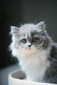 Mon parcours de maman chat. Chaton gris bicolore bleu et blanc : chaton british longhair des British du clos d'Eugénie (élevage de british shorthair et longhair). Mannequin : Lynn et Photo : Vanessa Pouzet | Beautiful cat blue and white | British longhair kitten                                                                                                                                                      Plus