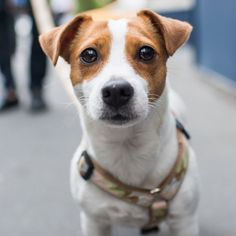 """Grace, Jack Russell Terrier (3 y/o), W. 10th and Hudson St, New York, NY • """"She's in a play called 'It's Only a Play', with Matthew Broderick and Nathan Lane. I just picked her up from rehearsal."""""""
