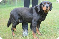 Newaygo, MI - Coonhound/Rottweiler Mix. Meet Jethro, a dog for adoption. http://www.adoptapet.com/pet/15889829-newaygo-michigan-coonhound-mix