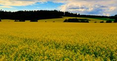 Beautiful fields of gold!