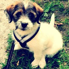 heididahlsveen:  #atsjoo #puppy #dog #hund