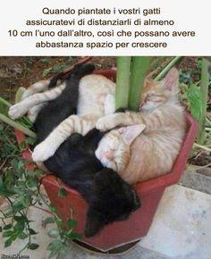 Quando piatate i vostri gatti assicuratevi di distanziarli di almeno 10 cm l'uno dall'altro, così che possano avere abbastanza spazio per crescere
