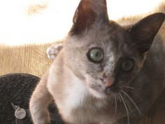 Topaz the chocolate tortie with freckles Burmese, Freckles, Topaz, Chocolate, Cats, Animals, Gatos, Animales, Animaux