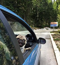 I'm watching you that my driving is so better than you! #puglovers #worldofpug #pug #pugs #funnypug