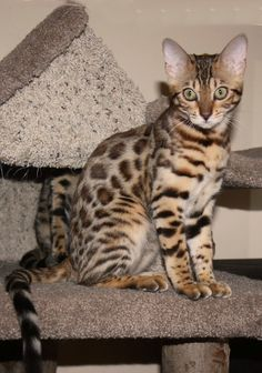 I want a Bengal cat!