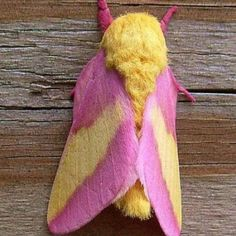 Pink Mothra!!