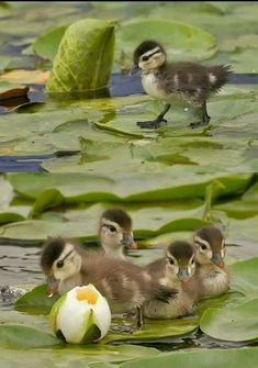 Little Brown and Yellow Mallard Ducklings on the Big Green Lotus Leaves - Baby Ducks Pretty Birds, Beautiful Birds, Animals Beautiful, Nature Animals, Animals And Pets, Wild Animals, Cute Baby Animals, Funny Animals, Photo Animaliere