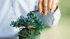 trees pruning Bonsai pruning is very important in all the stages of bonsai development as well. Bonsai pruning is very important in all the stages of bonsai development as well as upkeep Pruning Plants, Bonsai Pruning, Tree Pruning, Bonsai Garden, Outdoor Water Features, Water Features In The Garden, Conifer Trees, Deciduous Trees, Ponds Backyard