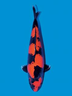 Hi Utsuri, Carpe Koi, Japanese Koi, Koi Carp, Water Life, Ponds, Whale, Aquarium, Colours