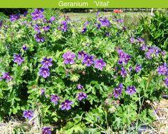 Geranium 'Vital' (Pépinière La Soldanelle)