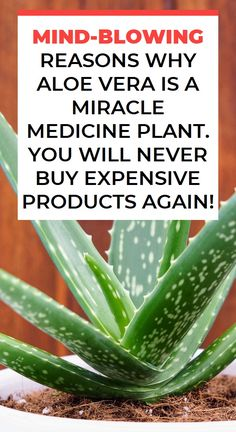 Mind-Blowing Reasons Why Aloe Vera Is A Miracle Medicine Plant. You Will Never Buy Expensive Products Again!